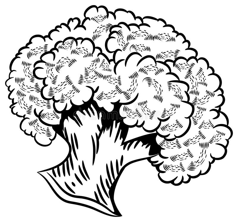Cauliflower. Line art brush stroke vector image of cauliflower stock illustration