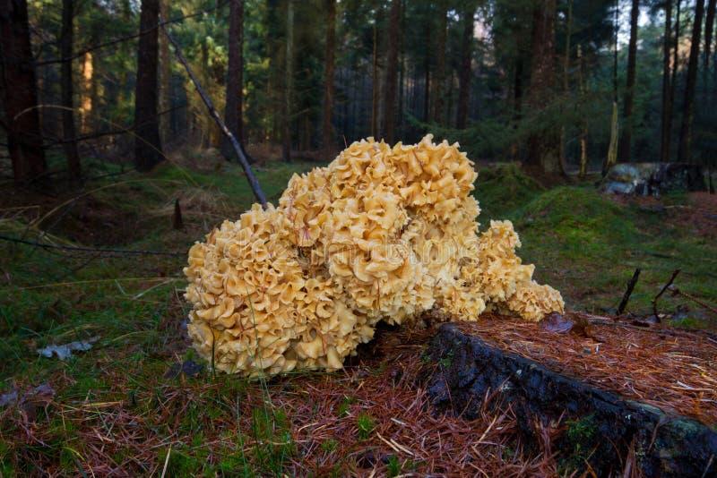 how to grow cauliflower mushroom