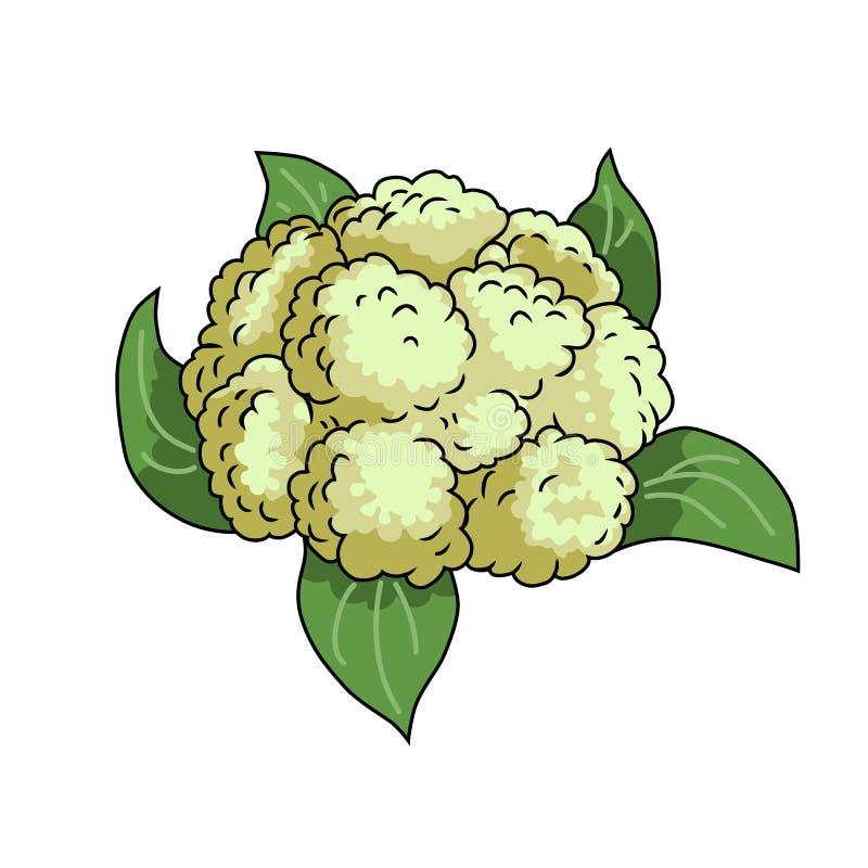 Cauliflower. Vector illustration isolated on white background. Cauliflower. Isolated object. Vegetable from the garden. Organic food. Vector illustration stock illustration
