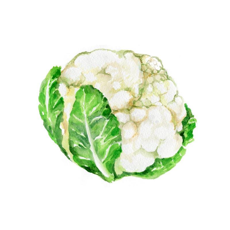 Cauliflower vector illustration
