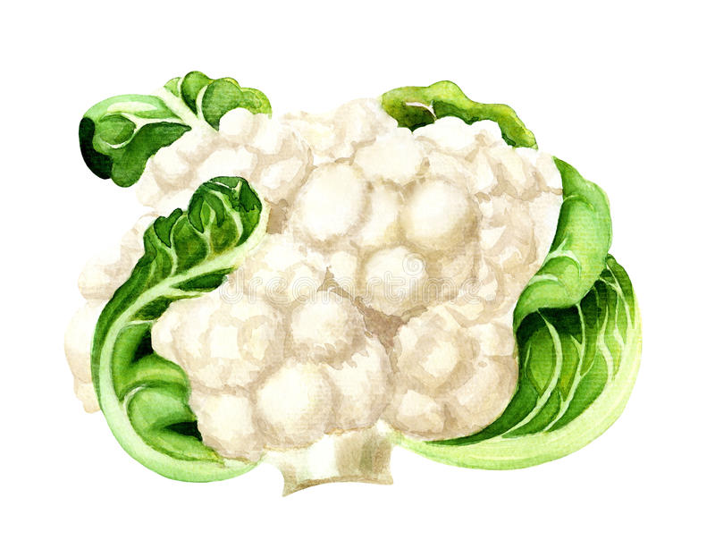 Cauliflower, watercolor painting. Wand drawn watercolor Cauliflower isolated on white. Illustration for vegetable market poster, menu, recipe vector illustration