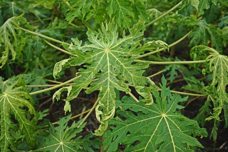 Causes de la maladie de papaye par le virus images stock