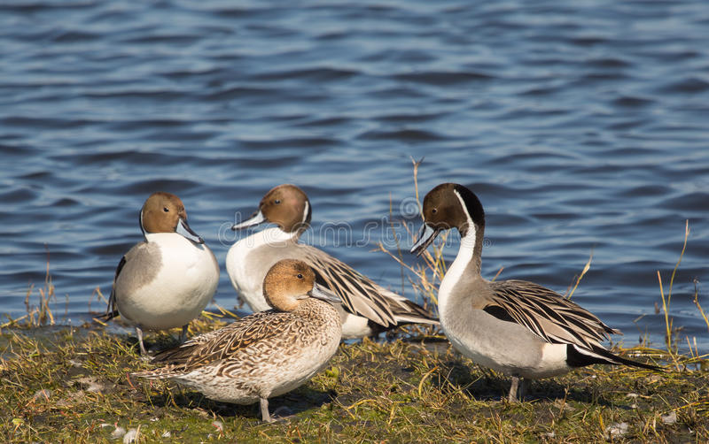 Causette de canard pilet photo stock