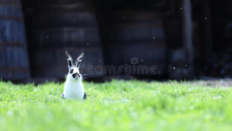 Cautious bunny rabbit in grass. Funny bunny rabbit standing in green fresh grass at Easter cautiously looking around royalty free stock image