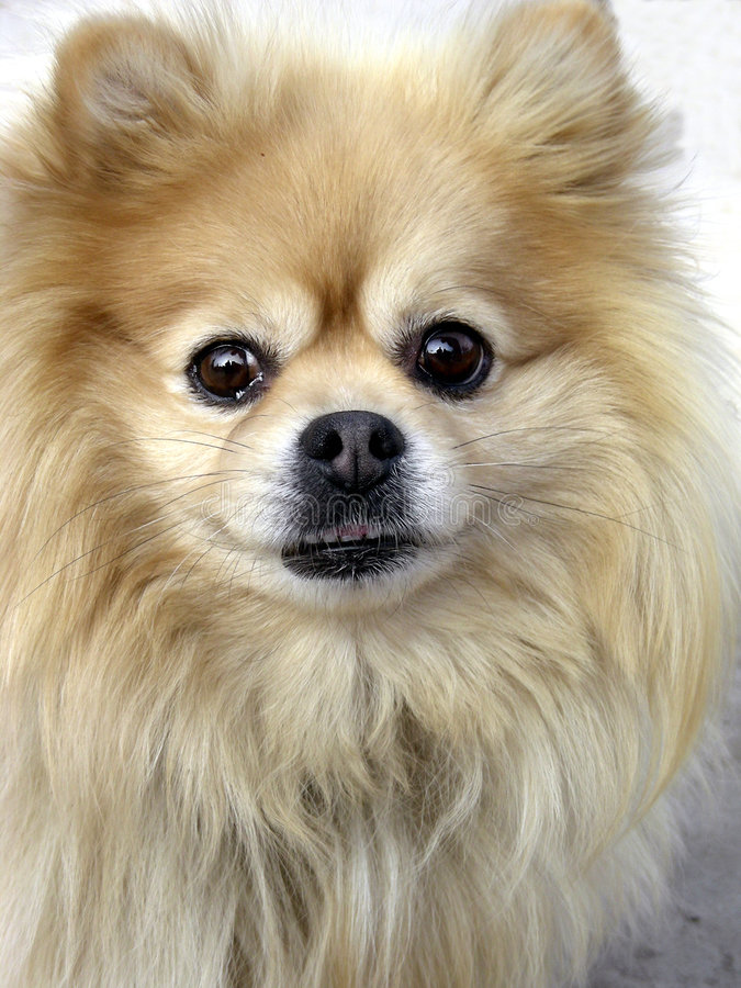 Cautious Pomeranian stock images
