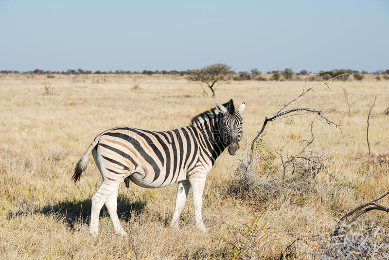 Cautious zebra is standing and looking into camera at savanna. Of Etosha National Park of Namibia royalty free stock images