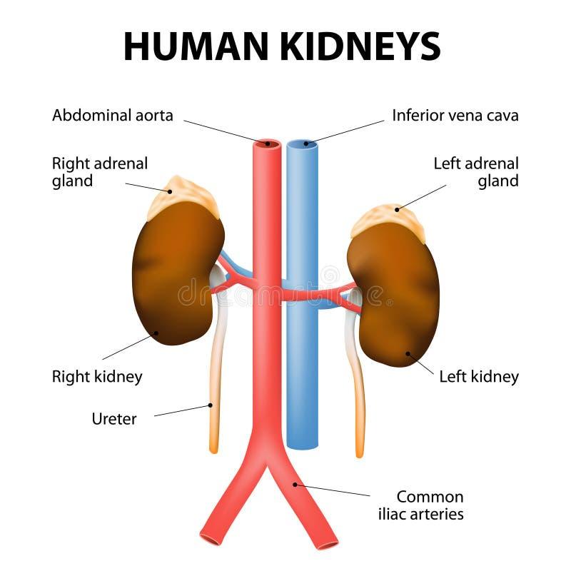 Cava njure, binjurar, aorta och vena Mänsklig anatomi royaltyfri illustrationer