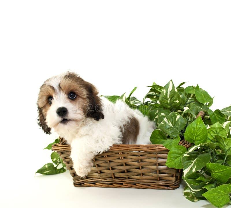 Cavachon Puppy royalty free stock photos