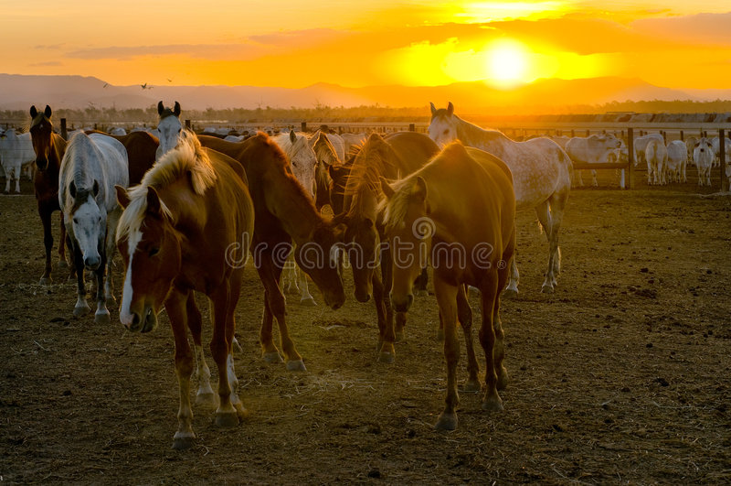 Cavalar e gado no por do sol imagens de stock