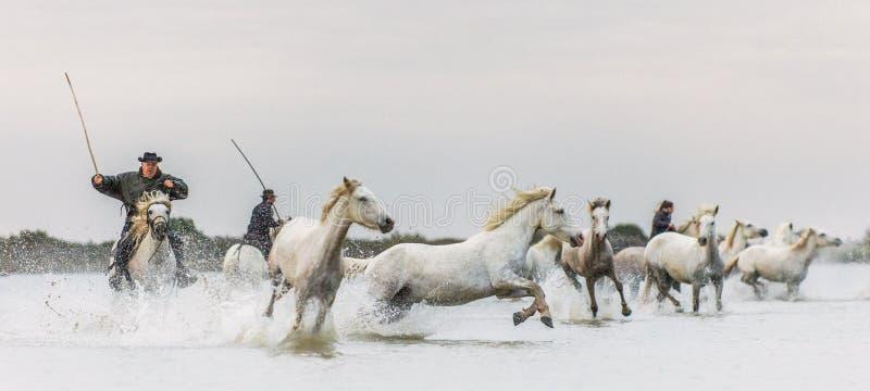 Cavaleiros nos cavalos brancos de Camargue que galopam através da água fotografia de stock royalty free
