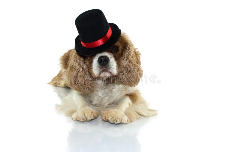 CAVALIER DOG WEARING A HALLOWEEN MAGICIAN HAT LYING DOWN AGAINST stock image