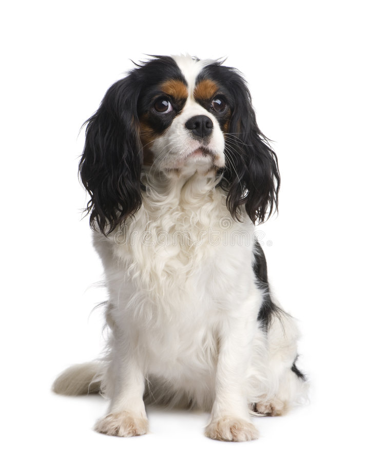 Download Cavalier King Charles (2 Years) Royalty Free Stock Photos - Image: 8195538