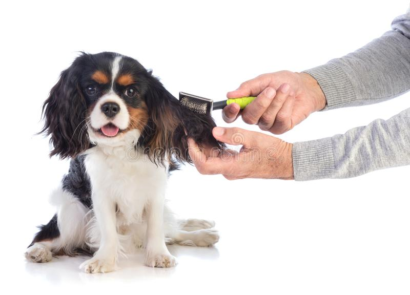 Cavalier king Charles is being brushed royalty free stock images