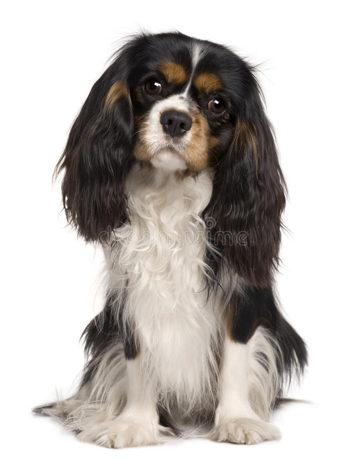 Free Cavalier King Charles Dog, 14 Months Old Royalty Free Stock Images - 13816339