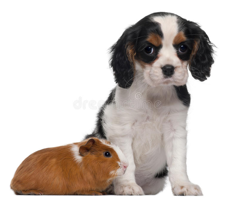 Cavalier King Charles puppy, 2 months old stock image