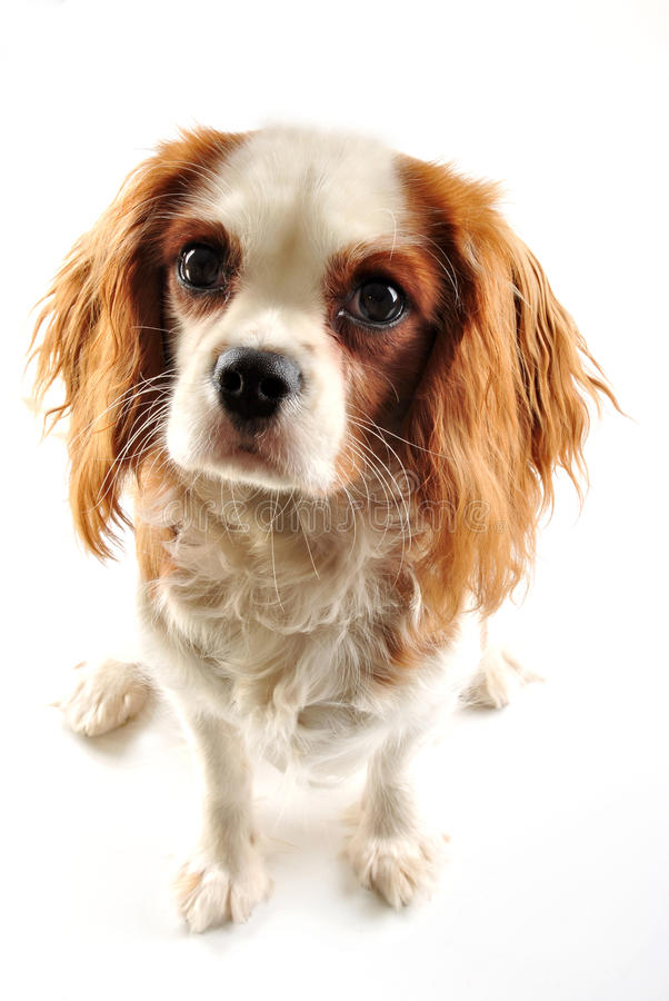 Cavalier king charles spaniel. And white background stock images
