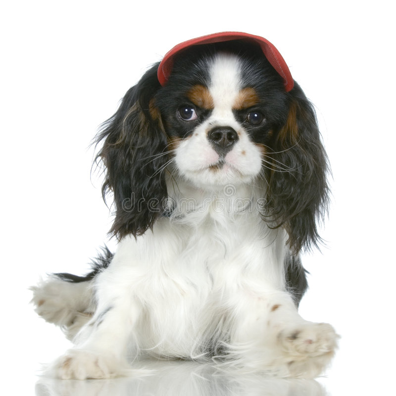 Download Cavalier King Charles Spaniel Stock Photography - Image: 2314642
