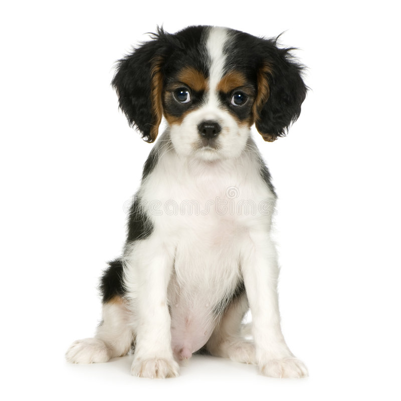 Cavalier King Charles Spaniel (3,5 months). In front of a white background royalty free stock images