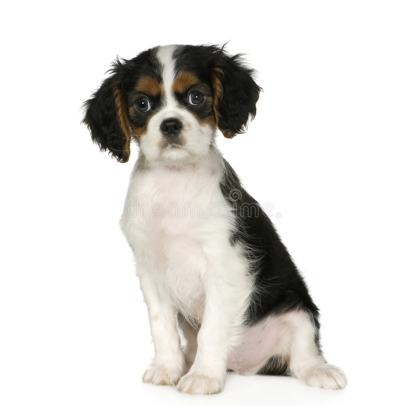 Cavalier King Charles Spaniel (3,5 months). In front of a white background royalty free stock image