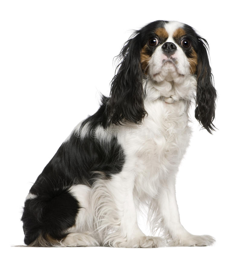 Download Cavalier King Charles Spaniel, 3 Years Old, Stock Photo - Image: 15360558