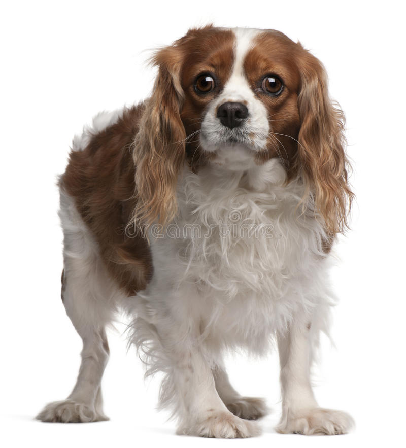 Cavalier King Charles Spaniel, 3 years old. Standing in front of white background stock images