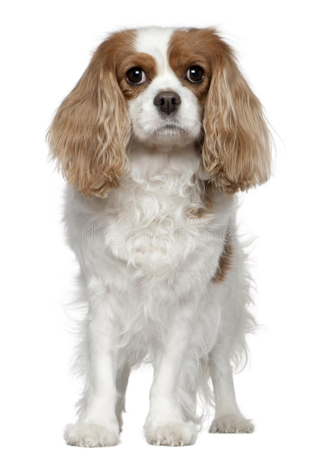 Cavalier King Charles Spaniel, 4 years old. Standing in front of white background stock images