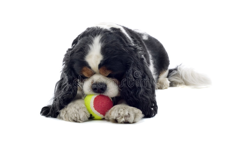 Cavalier King Charles Spaniel. Close up of Cavalier King Charles Spaniel dog lying on ground chewing ball, isolated on white background stock photography