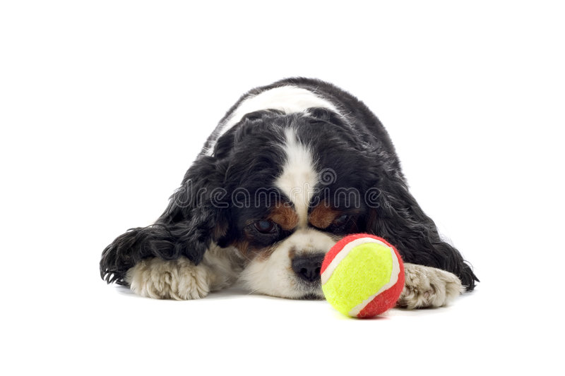Download Cavalier King Charles Spaniel Stock Photo - Image of looks, breed: 6910384