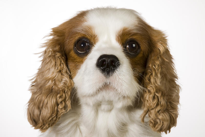 Cavalier King Charles Spaniel. Portrait of a young Cavalier King Charles Spaniel royalty free stock image