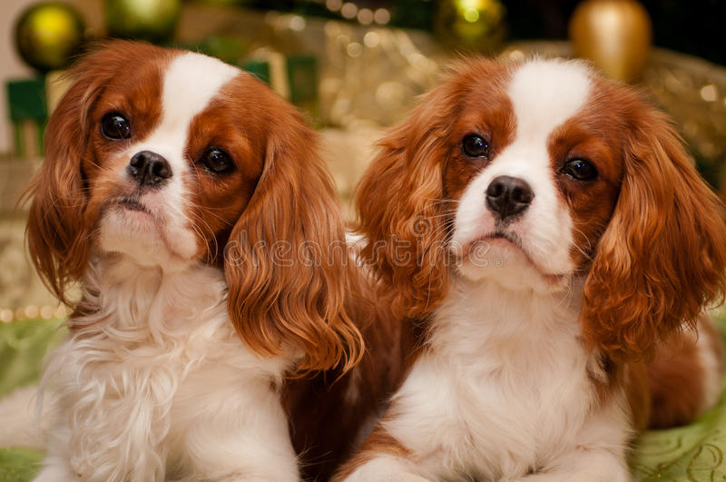 Cavalier King Charles Spaniel on the background of the Christmas tree royalty free stock image