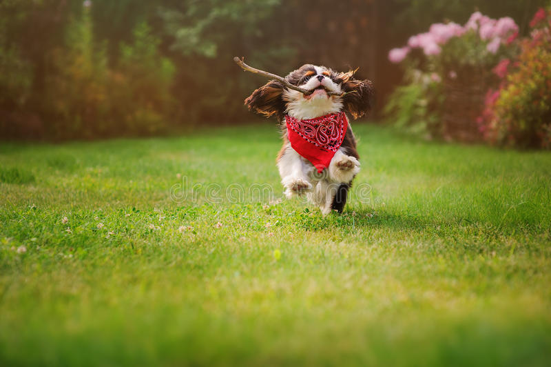 Cavalier king charles spaniel dog running with stick in summer garden. Cavalier king charles spaniel dog playing and running with stick in summer garden royalty free stock photography