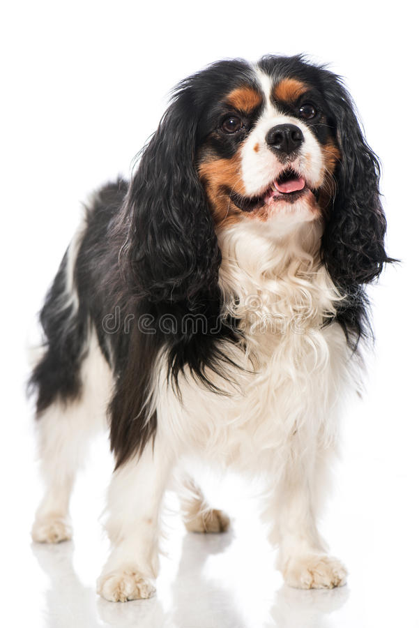 Cavalier King Charles Spaniel. Isolated on white stock photography
