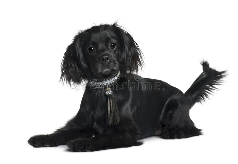 Cavalier King Charles Spaniel, lying down. Cavalier King Charles Spaniel, 1 year old, lying down in front of white background stock images