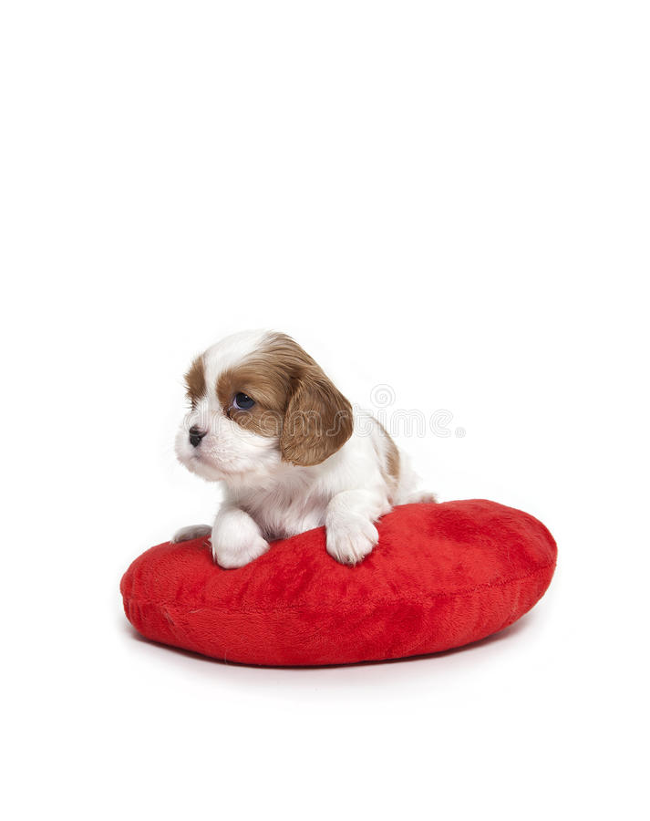 Simple Cavalier Canine Adorable Dog - cavalier-king-charles-spaniel-puppy-29356976  Pictures_568060  .jpg