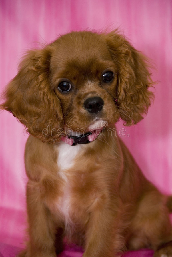 Cavalier King Charles Spaniel Puppy Stock Image Image Of