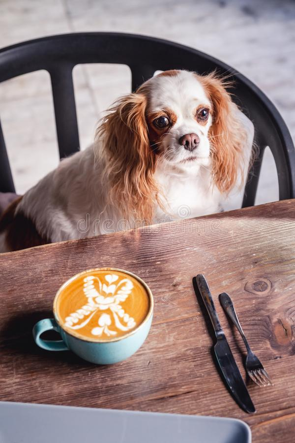 Cavalier King Charles Spaniel Puppy in a Coffeee House. Cavalier King Charles Spaniel Puppy sitting on a chair in a Coffeee House stock image