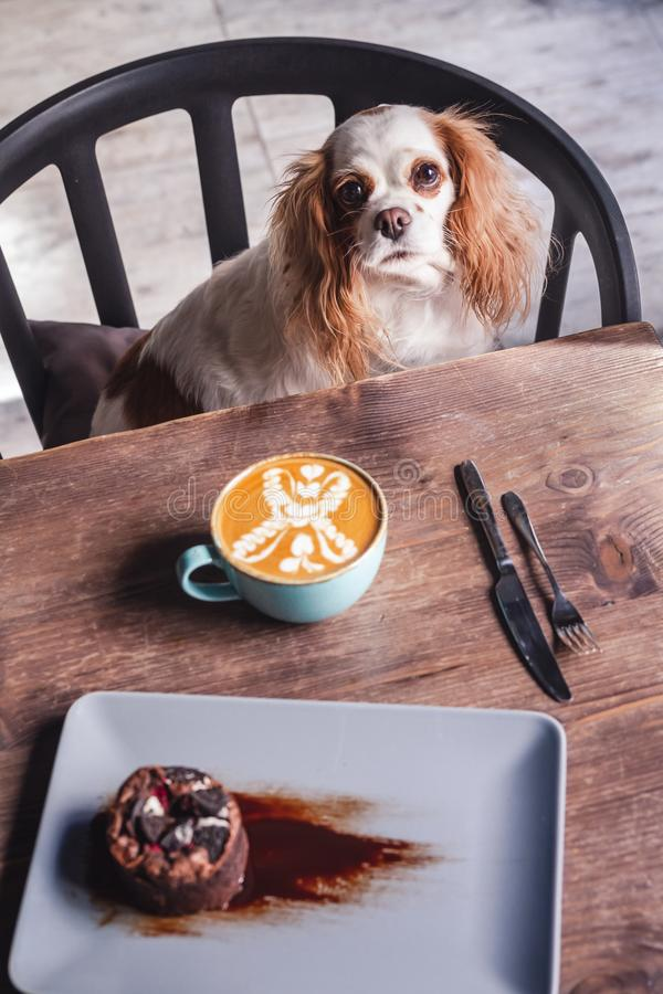 Cavalier King Charles Spaniel Puppy in a Coffeee House. Cavalier King Charles Spaniel Puppy sitting on a chair in a Coffeee House stock photo
