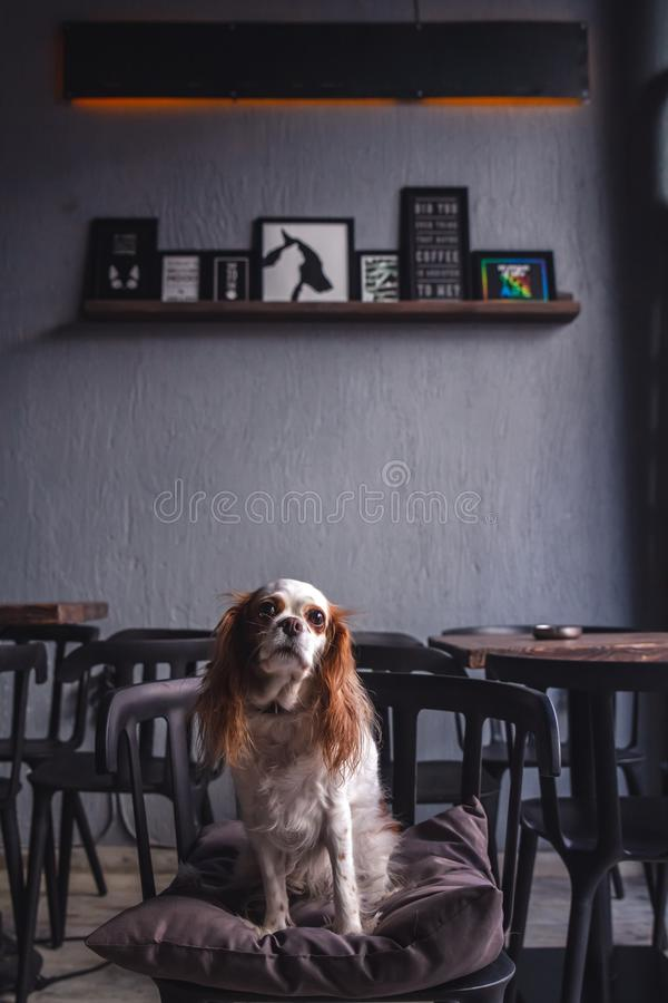 Cavalier King Charles Spaniel Puppy in a Coffeee House. Cavalier King Charles Spaniel Puppy sitting in a Coffeee House royalty free stock photography