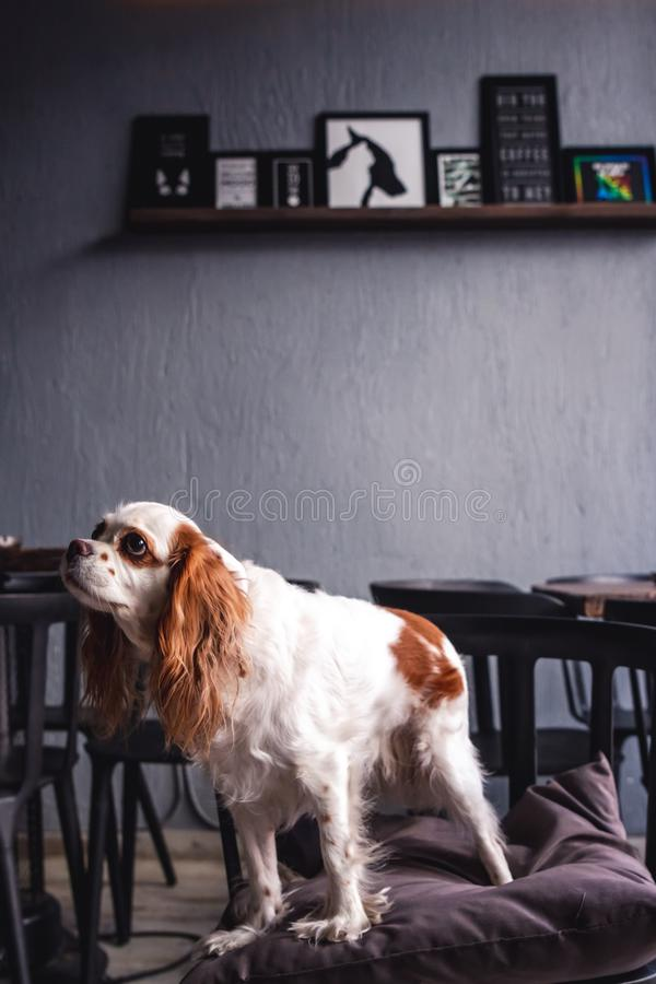 Cavalier King Charles Spaniel Puppy in a Coffeee House. Cavalier King Charles Spaniel Puppy sitting in a Coffeee House stock images