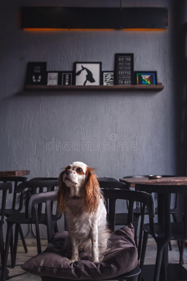 Cavalier King Charles Spaniel Puppy in a Coffeee House. Cavalier King Charles Spaniel Puppy sitting in a Coffeee House stock photography