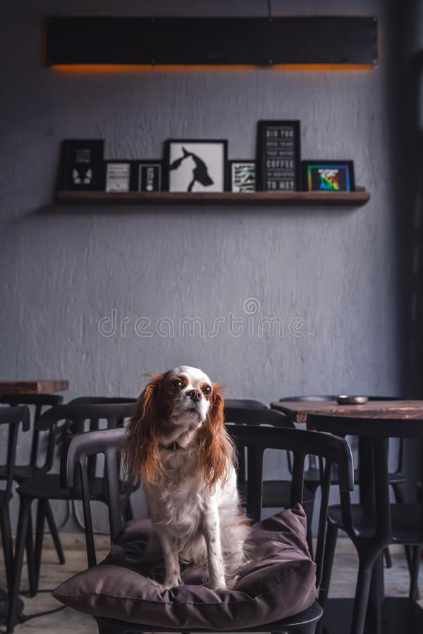Cavalier King Charles Spaniel Puppy in a Coffeee House. Cavalier King Charles Spaniel Puppy sitting in a Coffeee House stock image