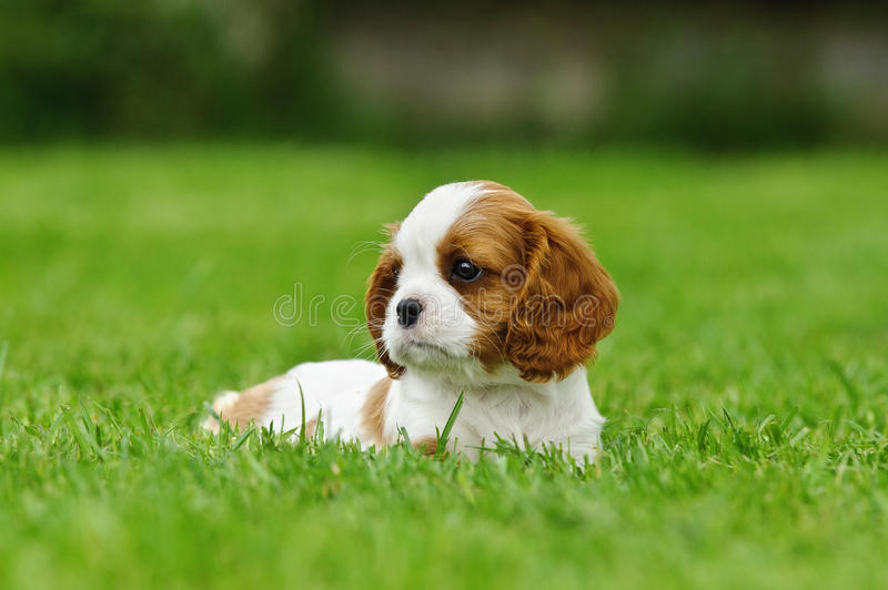 Cavalier King Charles spaniel puppy stock photos