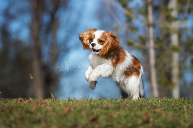 Cavalier king charles spaniel puppy outdoors. Cavalier king charles spaniel puppy royalty free stock photo
