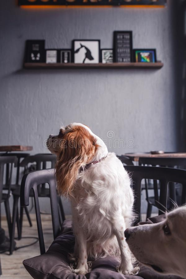 Cavalier King Charles Spaniel Puppy in a Coffeee House. Cavalier King Charles Spaniel Puppy sitting in a Coffeee House royalty free stock photos