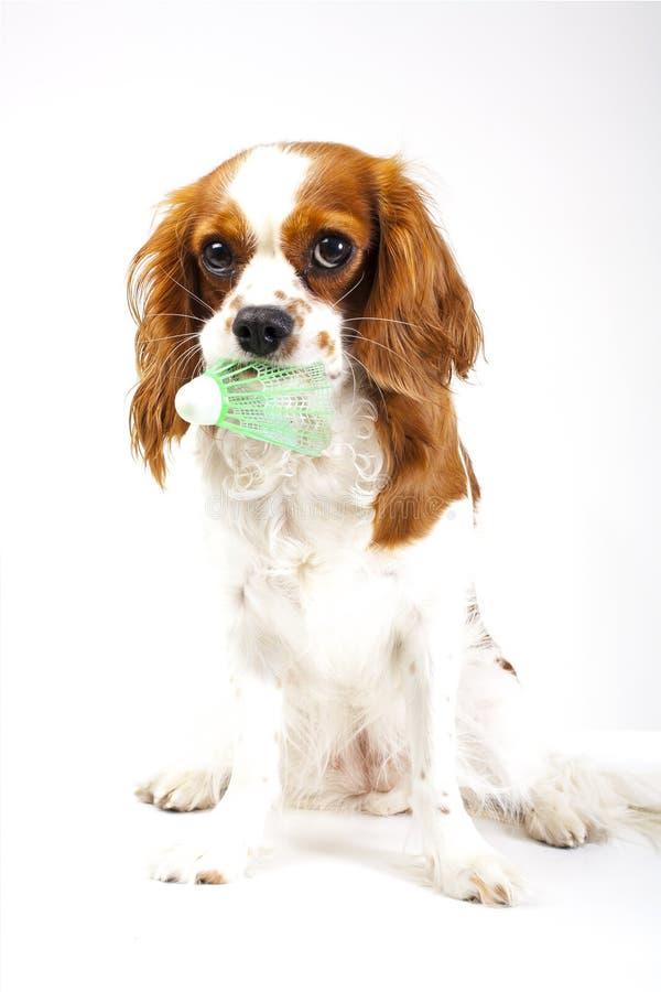 Cavalier king charles spaniel badminton sport dog photo. Beautiful cute cavalier puppy dog on isolated white studio. Cavalier king charles spaniel sport dog stock photo