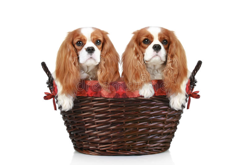 Cavalier King Charles spaniel in wicker basket. Two Cavalier King Charles spaniel in wicker basket on a white background stock photography