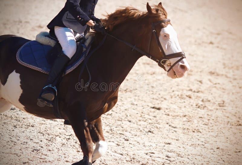 Cavaliere che galoppa su un cavallo veloce screziato con gli occhi azzurri fotografia stock libera da diritti