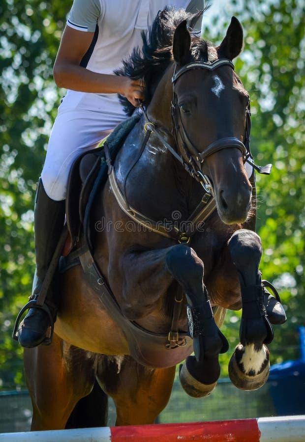 Cavaliere di salto del cavallo del primo piano di manifestazione equestre in calzoni alla cavallerizza immagini stock libere da diritti