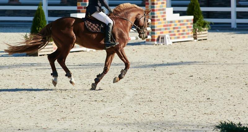 Cavaliere sul cavallo di baia nei concorsi fotografia stock