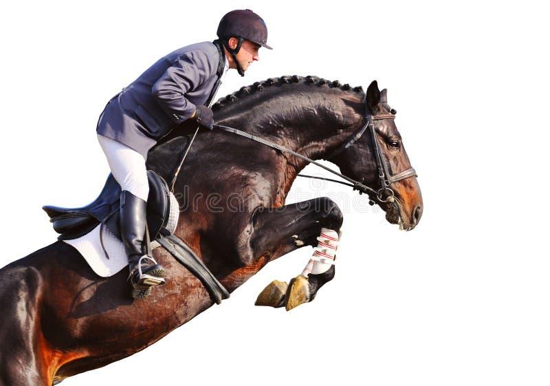 Cavaliere sul cavallo di baia nella manifestazione di salto, isolata immagini stock